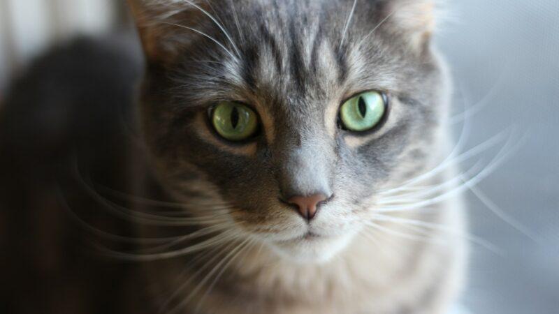 'Kattenziekte' slaat toe in Nederland